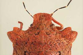 Entomological collection – Hemiptera