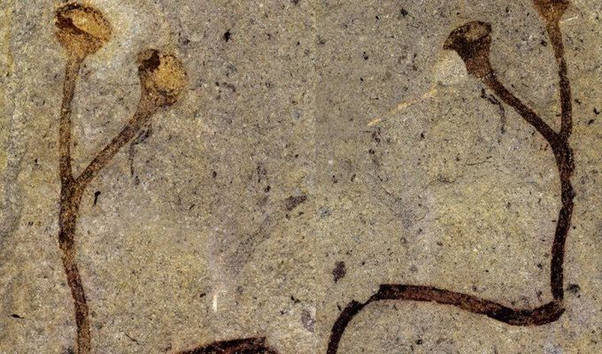 The world oldest plant macrofossil was discovered in collections of the National museum