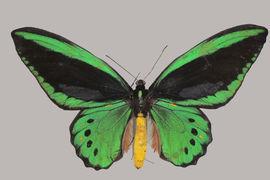 Entomological collection –  Lepidoptera (butterflies)