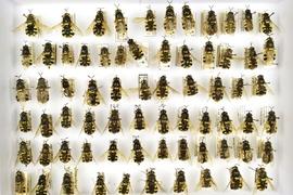 Enthomological collection – Diptera
