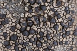 Hnědé druhy rodu Rhizocarpon v mykologických sbírkách Národního muzea – taxonomická studie, revize sbírkového materiálu