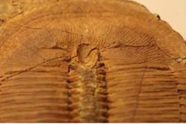 Morfologická variabilita a vnitrodruhový polymorfizmus kambrických trilobitů