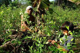 Ayahuasca a koka: Posvátné substance Amazonie a And