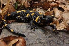 Genetická struktura populací mloka skvrnitého (Salamandra salamandra) na území České republiky