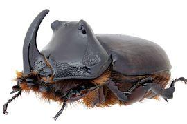 Skutečně existuje na území ČR endemický poddruh nosorožíka kapucínka Oryctes nasicornis?