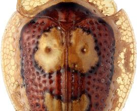 Charidotis mrazi Spaeth, 1936