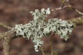 Křovinaté porosty jako hotspoty výskytu vzácných druhů epifytických lišejníků